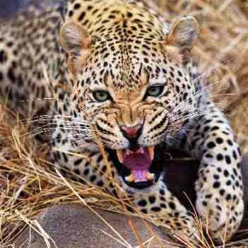 חיות טורפות בספארי
